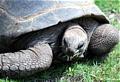 Riesenschildkröte - Bild: Flickr User dreiche