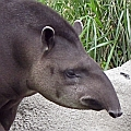 Tapir - Bild: Flickr User ellenm1