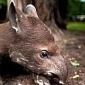 """Bild: Wissenschaftsstadt Darmstadt / Zoo Vivarium (Tapir-Jungtier """"Mateo"""")"""