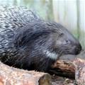 Foto: Stachelschwein, Quelle: Wissenschaftsstadt Darmstadt / Zoo Vivarium