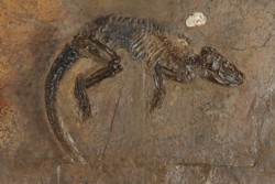 """Hessischer"" Schuppenschwanz (Pholidocercus hassiacus). Original Hessisches Landesmuseum Darmstadt, Inventar-Nr. HLMD-Me 10003. Foto: Wolfgang Fuhrmannek, HLMD"