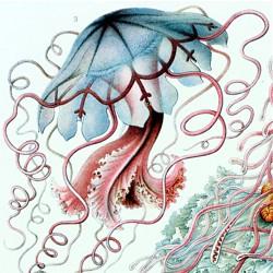 Ernst Haeckel Kunstformen der Natur, 1899 - 1904 Tafel 8 Discomedusae – Scheibenquallen (Ausschnitt) ©Hessisches Landesmuseum Darmstadt, Foto: Wolfgang Fuhrmannek
