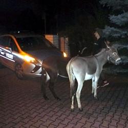 Ausweglose Lage: Polizei setzt zwei Esel fest - Bild: Polizeipräsidium Südhessen