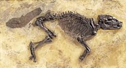 Großes Messeler Urpferd (cf. Propalaeotherium sp.), Fund aus dem Jahr 2015 / Foto: Wolfgang Fuhrmannek, HLMD