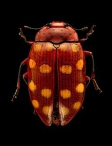 Levon Biss, Pilzkäfer, Brachysphaenus sp. (Coleoptera, Erotylidae), Draufsicht, Fotografie
