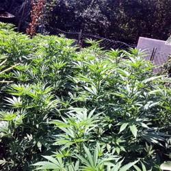 Cannabispflanzen / Bild: Polizeipräsidium Südhessen